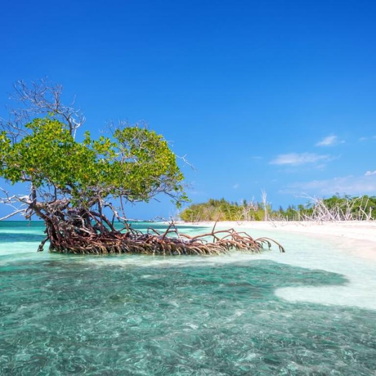 mangrove-boom-op-strand-cayo-levisa-cuba