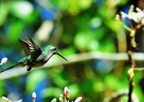 ZumZum kolibrie Cuba